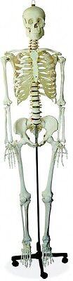 175cm menschl. SKELETT - Top Anatomie Modell - NEU