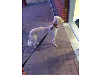 Saluki whippet greyhound female
