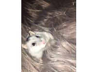 White and grey baby hamster looking to be re-homed