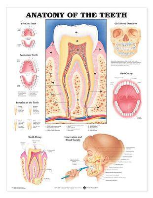 Anatomy Of The Teeth Anatomical Chart Laminated