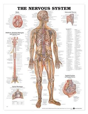 The Nervous System - Neurology Anatomy Poster Anatomical Chart Company