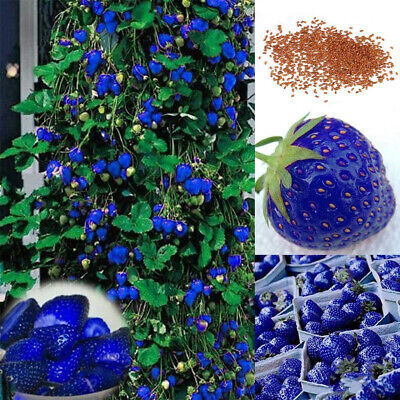 200x Blue Strawberry Seeds Home Garden Farm Delicious Nutritious Fruit Plant Mgi Home & Garden
