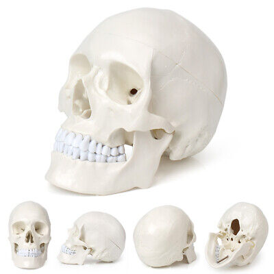 11 Pvc Human Skull Model Life Size Anatomical Medical Teaching Skeleton Head