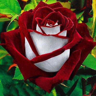 100Pcs Red & White Osiria Ruby Rose Flower Seeds Home Garden Decor Plant Beamy