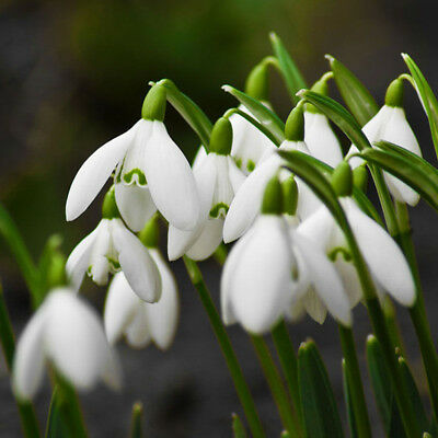 200Pcs Snowdrop Galanthus Seeds Autumn Bulbs Growing Gardening Flower Pretty