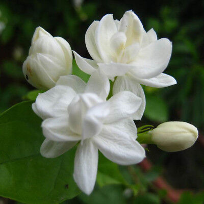 100Pcs Jasmine Flower Seeds Fragrant Home Garden Plant Seed Wedding Decor - Jasmine Flower Plant