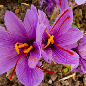 8 Pcs Rare Saffron Bulbs Crocus Sativus Ball Flower Seeds Garden Plants Fashion
