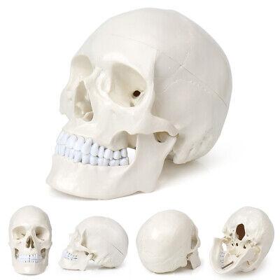 11 Life Size Human Skull Models Anatomical Medical Teaching Skeleton Head Pvc