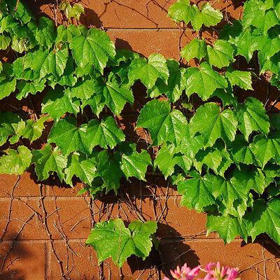 (50Pcs Green Boston Ivy Vine Seeds DIY Home Garden Outdoor Climbing Rare Seeds MO)