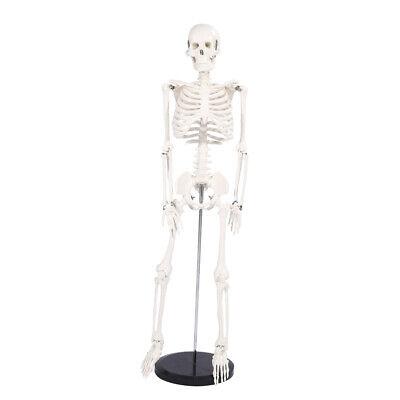 85cm Life Human Anatomical Skeleton Medical Model Teaching School