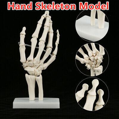 Hand Joint Anatomical Model Skeleton Model Human Medicalanatomy Life New