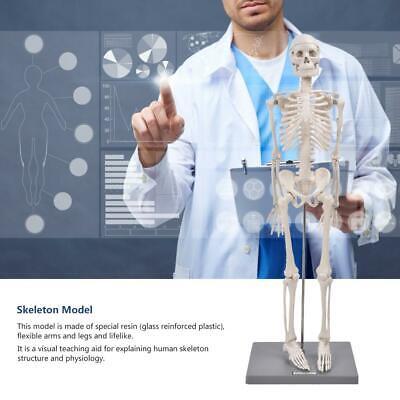 Lifelike Medical Human Anatomical Skeleton Model Visual Teaching Aid 85cm