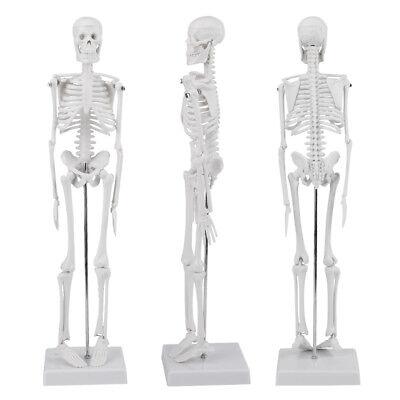 High Quality 45cm Life Size Medical Anatomical Human Skeleton Skull Model Stand