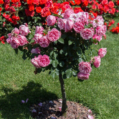 200x Rose Tree Seeds Potted Bonsai Flower Plant Garden Backyard-Balcony Decor Mg Home & Garden