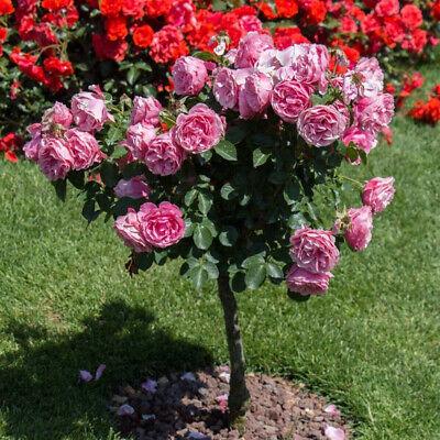 200x Rose Tree Seeds Potted Bonsai Flower Plant Garden Backyard-Balcony Decor Mg Home & Garden