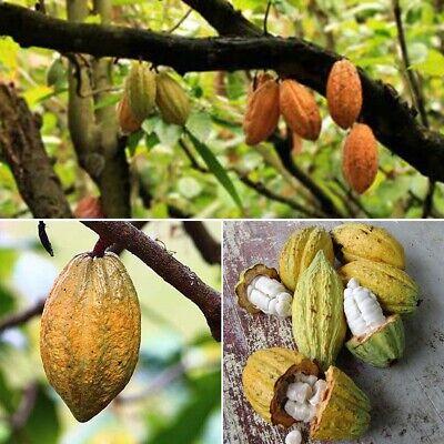 40Pc Cocoa Fruit Seeds High Germination Fresh Seeds Home Garden Plant Cocoa Pods Fresh Garden Fruit