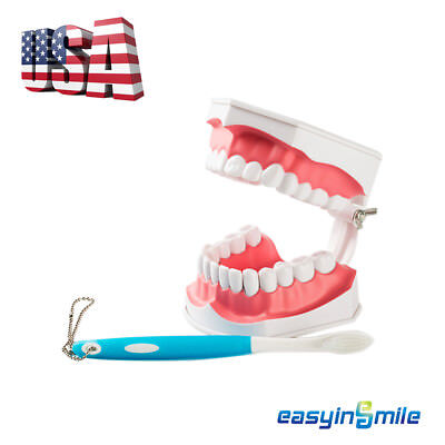 1x EASYINSMILE Dental Teaching Typodont Model Large With Removable Teeth Colgate