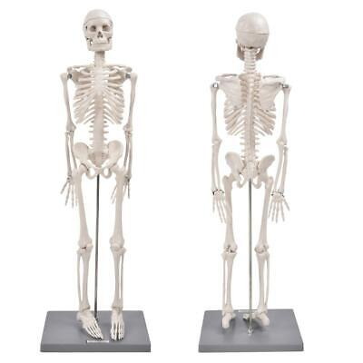 85cm Life Size Medical Anatomical Human Skeleton Model With Base Supporting Rod