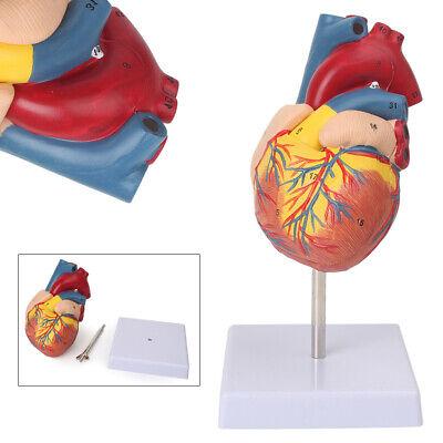Lifesize Human Anatomical Model Halswirbelsäule