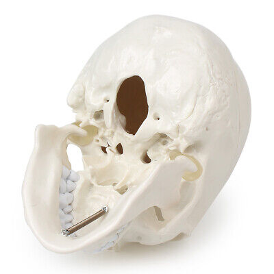 Life Size Human Anatomical Anatomy Head Skeleton Skull School Teaching Model Pvc