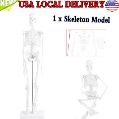 45Cm Human Anatomical Anatomy Skeleton Medical Teaching Model Stand Us Stock