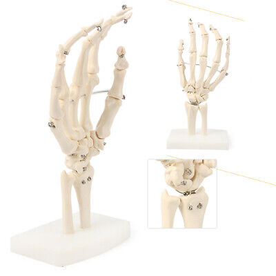 Hand Joint Skeleton Anatomical Model Human Medical Anatomy Tool Life Size