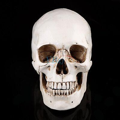 Lifesize 11 Human Skull Replica Resin Model Anatomical Medical Teaching White