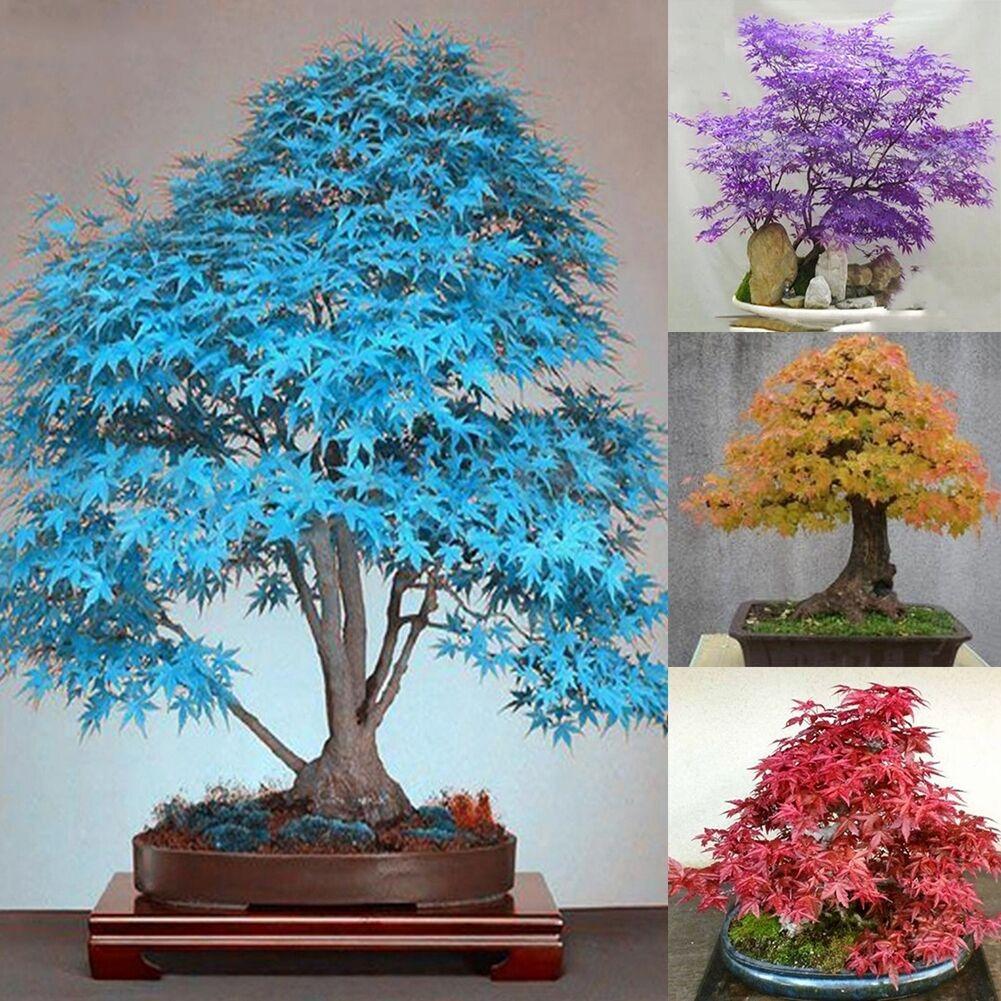 20st seltene ahorn samen blue ahorn samen bonsai baum pflanzen garten decor neu ebay. Black Bedroom Furniture Sets. Home Design Ideas