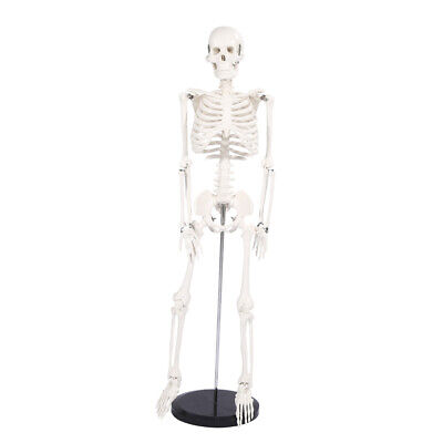 Life Size Medical Anatomical Human Skeleton Model With Rolling Stand 85cm33.46
