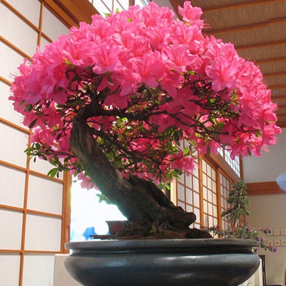 10 Seeds Japanese Flowering Cherry Blossom Bonsai Tree Sakura For Sale Online Ebay