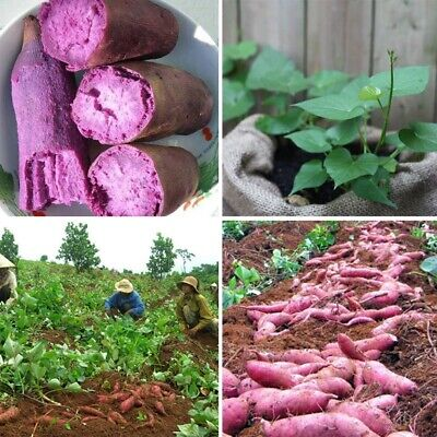 100 Pcs Purple Sweet Potato Seeds Yam Yard Home Garden Plants Vegetable -