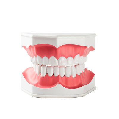 1xdental Teaching Typodont Model Large With Removable Teeth Easyinsmile Colgate