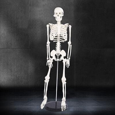 Menschliches Modell SKELETT 85cm groß Anatomie mit Ständer Lehrmodell Studium DE