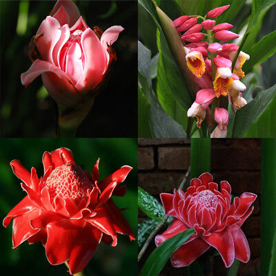 100Pcs Torch Ginger Rare Flower Etlingera Elatior Seeds Ornamental Plant Cheap (Cheap Ornaments)
