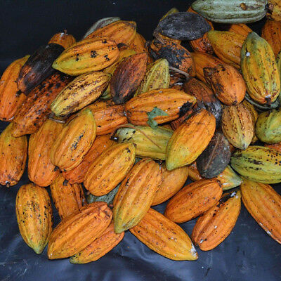 40Pc Cocoa Fruit Seeds Tree Germination Fresh Home Garden Plant Decoration -