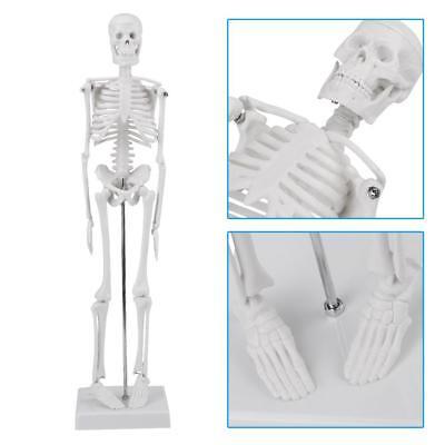 Human Anatomical Anatomy Skeleton Model W Stand For Doctorstudent