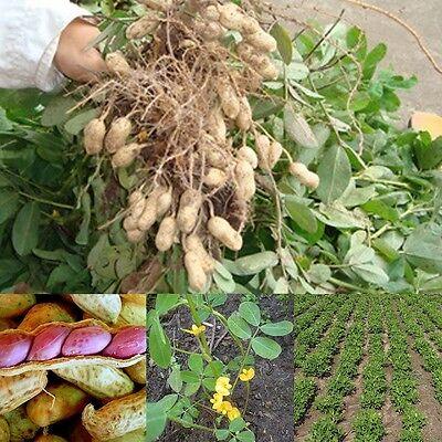 Jumbo Virginia Peanuts (Hot Sale Seeds Of Jumbo Virginia Peanuts Untreated Seeds Organic 50)