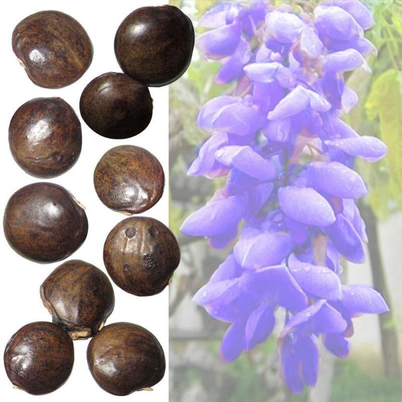 Bonsai Japanische Cedar Semillas Bonsai Cryptomeria japonica 20 Samen HOT X2A9