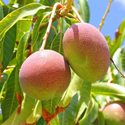 10x Mango Tree Rare Seeds Delicious Fruit Plant Home Garden Backyard-Farm Decor Home & Garden