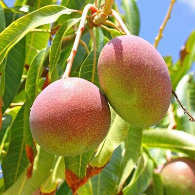 10x Mango Tree Rare Seeds Delicious Fruit Plant Home Garden Backyard-Farm Decor Home & Garden