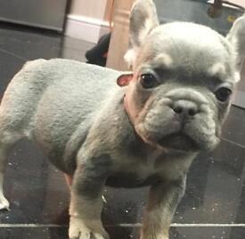 Shrinkabulls Frenchbulldog Puppies