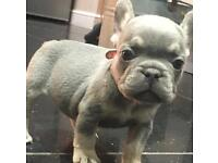 Shrinkabulls Frenchbulldog Puppies