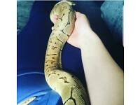 Adult female lemon blast ball python