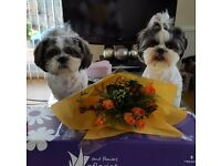 Stunning Shih Tzu Puppies ready for new homes from 15 January 2017