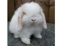 *Mini lop babies avaliable to reserve Now*