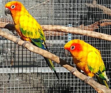 BONDED PAIR OF AVAIRY SUN CONURES Jimboomba Logan Area Preview