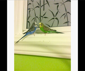 Selling two budgies with cage!