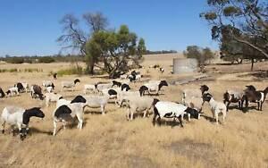 Pure Bred Black Head Dorper Lambs/Ewes