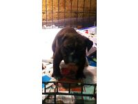 Old Tyme bulldog girl pup for sale