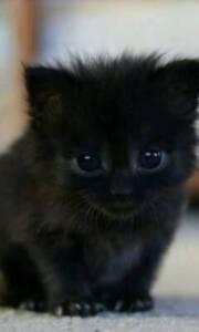 Baby Kitten black